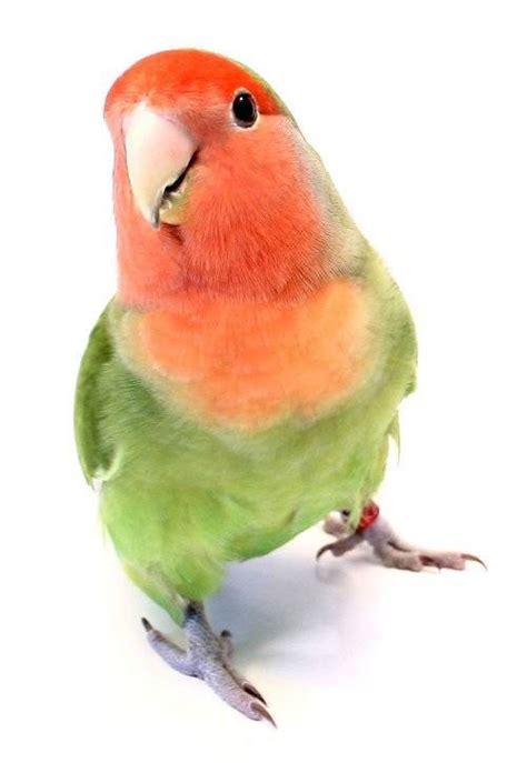 imagenes de aves sin fondo jaula para agapornis y cotorras techo curvo tiendanimal
