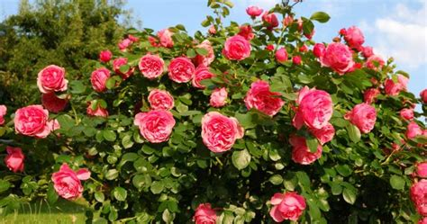 how to grow roses from seeds garden how