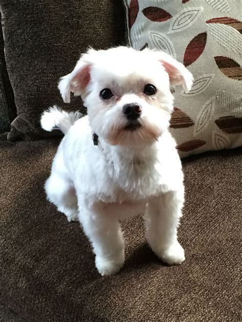 moltipoo wiki maltese schnauzer mix haircut the world s best photos of