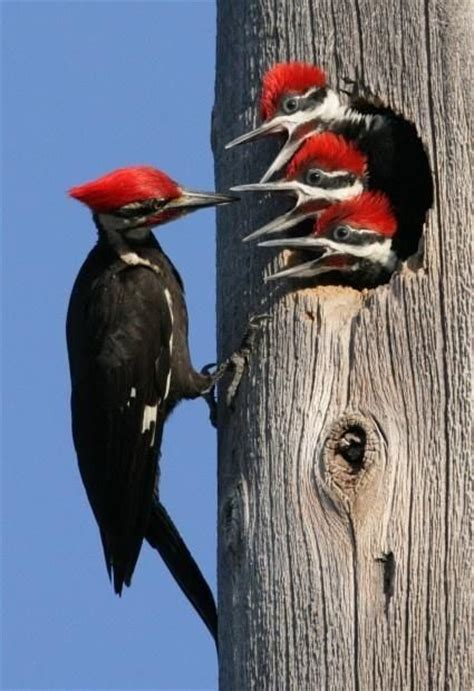 pileated woodpecker feeding young birds of a feather