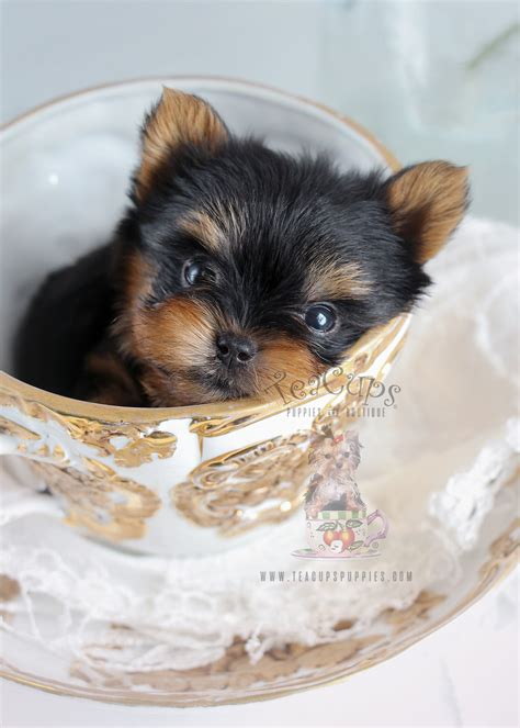 teacup yorkie collars teacup yorkie puppies teacups puppies boutique