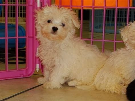 puppies for sale rock hill sc maltese puppies dogs for sale in charleston south carolina sc rock hill