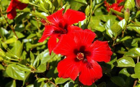 fiore d ibisco ibisco rosso piante da giardino ibisco rosso