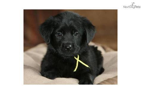goldador puppies for sale goldador breeds picture