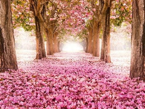 pink indus flowers path trees beautiful scenery