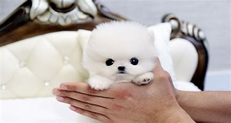 teacup pomeranian puppies for sale in alabama pomeranian puppies teacup puppies puppy