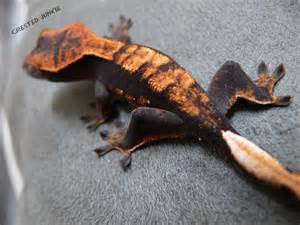 crested gecko colors crested geckos geckos