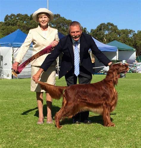 irish setter dogs for sale australia show results as at 28 february 2016 irish setters australia