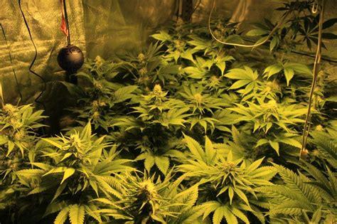 fiori marjuana coltivazione di cannabis interni rqs