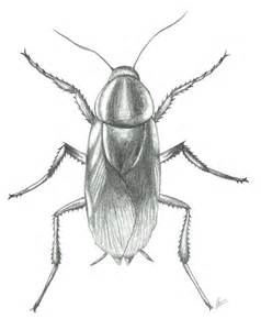 drawing of a cockroach american cockroach by caiogomides on deviantart