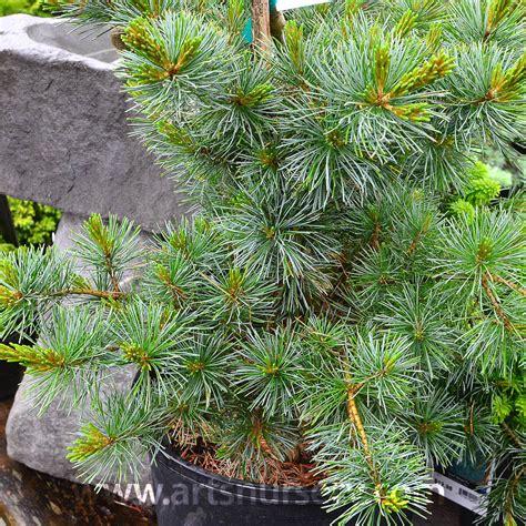 pinus parviflora negishi  arts nursery