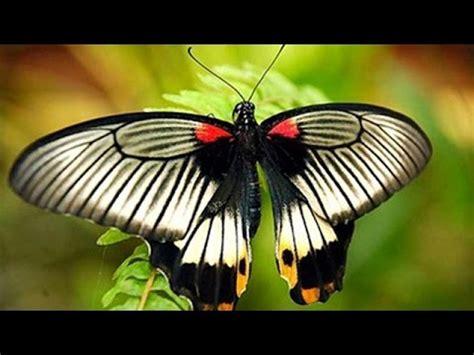 Kupu Hitam 6 11 mb kupu kupu hitam putih stafaband