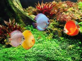 Keeping Discus Fish & Breeding Discus Fish