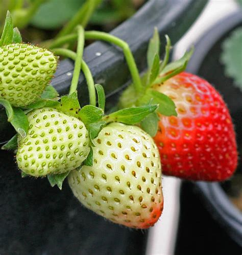 p fruits with seeds fresca strawberry seeds