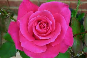 pink roses pink fleur