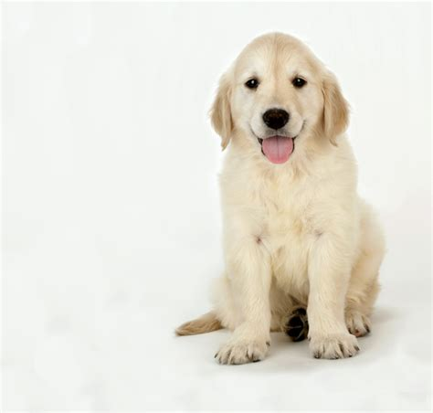 what breed is a golden retriever golden retriever puppy www pixshark images