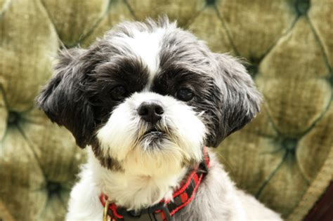 shih tzu spine problems to again a shih tzu story shih tzu city
