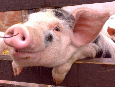 pig sections pig causes gas leak scare peta