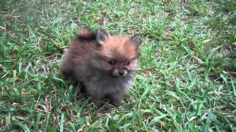 pomeranian tx tiny teacup pomeranians from land poms houston www candylandpoms