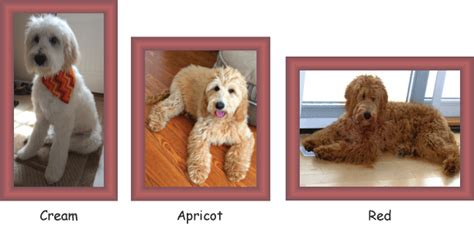 goldendoodle puppy colors goldendoodle colors