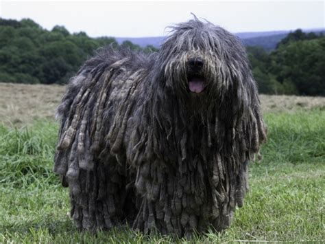 shaggy dogs 27 best shaggy dogs images on