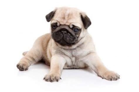 owning a pug puppy own a pug pug club