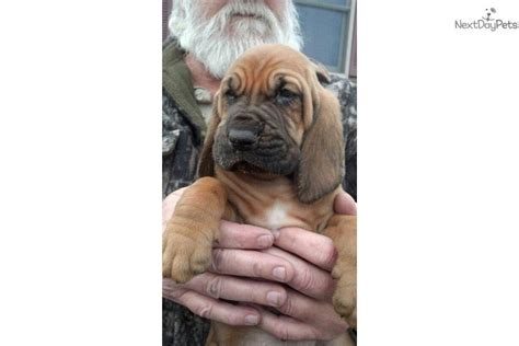 bloodhound puppies for sale in ohio bloodhound puppy for sale near zanesville cambridge ohio ff33b609 48e1