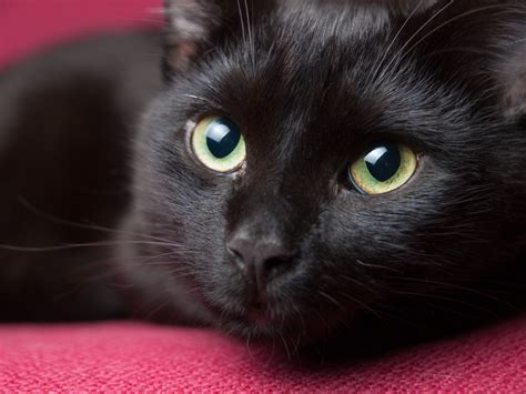 finding the perfect fit 100 unique black cat names