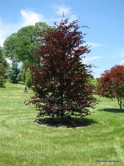 fagus sylvatica fagus sylvatica spaethiana hess landscape nursery
