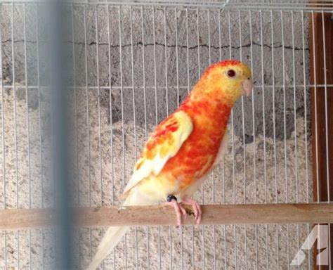 birds for sale san diego male red rump parakeet rumped parakeet orange rubino for sale in glendale california classified americanlisted
