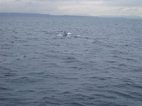 puget sound grey whale back flickr photo sharing