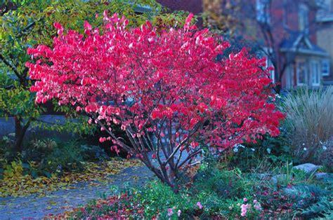 Topiary Bush - plant profile burning bush euonymus alatus housecraft diy house garden and interior design