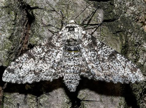 Peppered Moth peppered moth selection ask a biologist