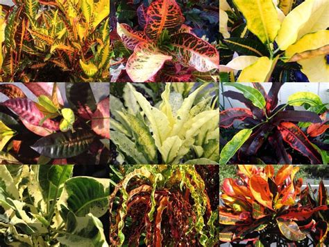 types of foliage plants tropical croton plant great fall color outdoor or