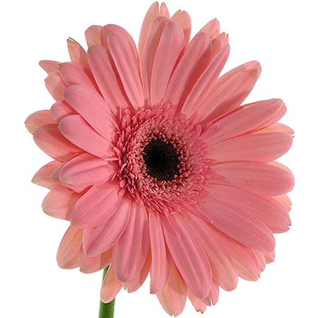 imagenes de gerberas blancas enviar gerberas rosas enviar flores a domicilio