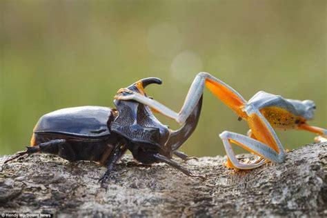 coleottero volante la rana volante monta sul coleottero dago fotogallery