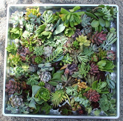 amazon succulents 100 succulent cuttings great for living walls wreaths