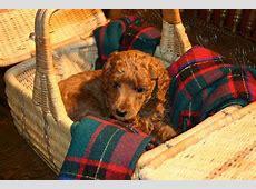 Red Standard Poodle Information, Dark Red Poodles,Red ... Reputable Site