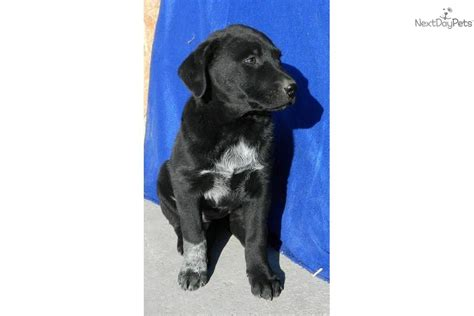 blue heeler lab mix puppies for sale meet echo a labrador retriever puppy for sale for 350 echo lab blue