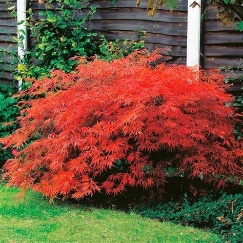 bonsai da giardino acero giapponese prezzo piante da giardino prezzo dell