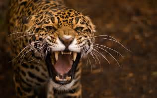 Photo Of Jaguar Jaguar Wallpapers Hd Wallpapers