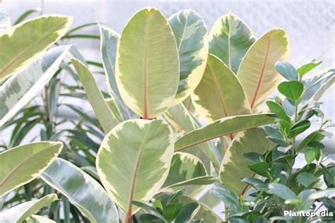 ficus elastica gummibaum ficus elastica pflege anleitung plantopedia