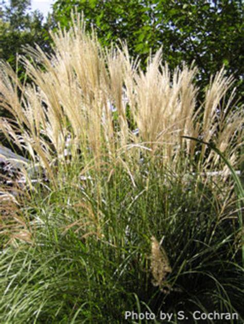 ornamental grasses in the landscape ornamentalgrass
