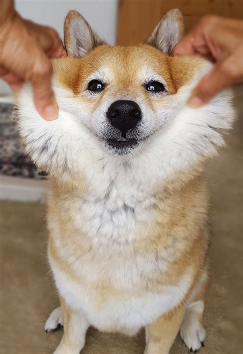 all about the shiba inu squishy shiba inu cheeks all about the shiba inu cheek