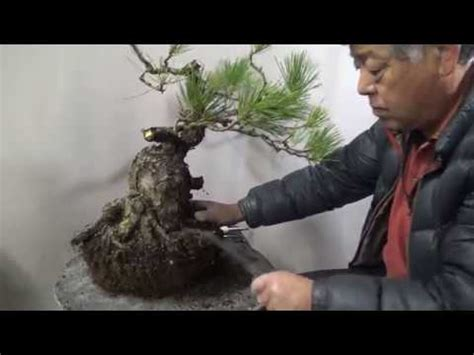 libro bonsai masterclass all you need hurt pine tree will be beautiful bonsai by bonsai master 3 years later youtube