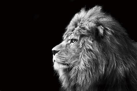black and white wallpaper uk only wall glass art lion black and white buy at