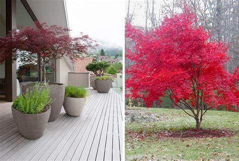 acero giapponese in vaso l acero giapponese per la progettazione outdoor nel vostro