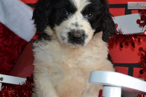 doodle 4 indiana doodle 2 berdoodle st berdoodle puppy for
