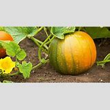 Pumpkins Growing   600 x 305 jpeg 45kB