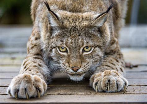 Lynx House Cat by Lynx Cat Claws Wallpaper 4592x3280 892786